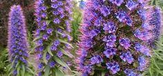 Echium Candicans, Pride of Madeira, Montara CA