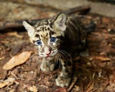 Clouded Leopard @ Singapore Night Safari. You can tell I love big cats and small ones too... *sigh* Just too adorable. Check the story @ www.zooborns.com