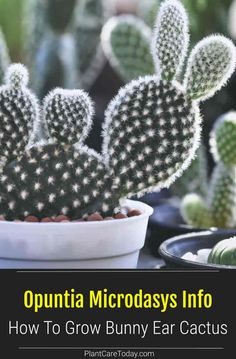 Opuntia Microdasys (Bunny Ear Cactus) dense shrub, thick pads, fuzzy white or yellow glochids, pad-like stems, slow growth rate. [DETAILS]