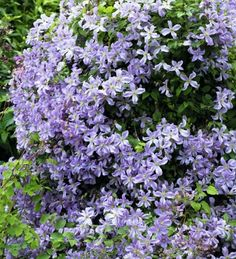 My gardening hero Christopher Lloyd was always a big clematis fan and one of his favourites was 'Prince Charles'. It's very reliable and long-flowering, covered in light blue flowers from late June until the end of August.
