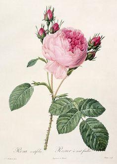 Rosa Centifolia Drawing  - Rosa Centifolia Fine Art Print                                                                                                                                                                                 More