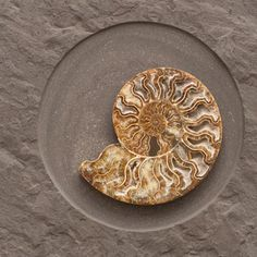 Hendrik Hackl - Couple   series of two wall objects with one cut ammonite. Important contemporary art for sale on CuratorsEye.com