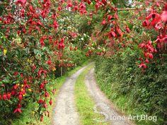 Fuchsia magellanica 'Riccartonii' found all over west Cork, Ireland What Are Weeds, Flower Hedge, West Cork, Fuchsia, Shade Garden, Stone Art, Garden Inspiration, Garden Ideas, Hedges