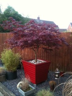 My potted Acer plant – This is my favorite plant in the garden. - My potted Acer plant – This is my favorite plant in the garden. Japanese Maple Garden, Japanese Garden Design, Vegetable Garden Design, Small Garden Design, Acer Garden, Garden Shrubs, Garden Pots, Magic Garden, Dream Garden