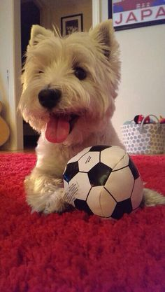 Charlie playing ball. (I Love Westies Facebook)