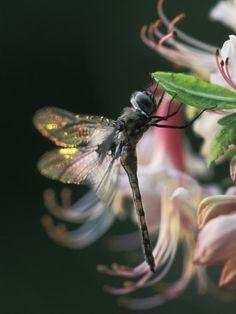 Dragonfly backlit on azalea, Georgia, US. Photo by Nancy Rotenberg
