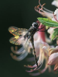 Dragonfly on an Azalea