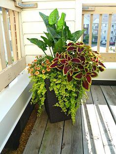 Container Gardening Ideas Orange Calla Lilly, creeping jenny, coleus, and super bells Container Flowers, Container Plants, Container Gardening, Succulent Containers, Container Design, Diy Garden, Shade Garden, Garden Landscaping, Garden Types
