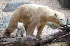 Si chiama Anori la femmina di orso polare presentata allo zoo di Wuppertal insieme alla madre Vilma. Anori ha lo stesso padre di Knut, il celebre orso dello zoo di Berlino scomparso nel 2011, e  promette di diventare una nuova celebrità animale proprio come il compianto fratellastro