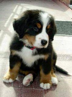 bernase mountain dog.