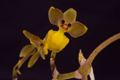 Orchid-Mimicry: Cyrtochilum sp. - Flickr - Photo Sharing!