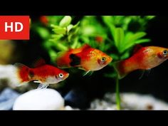Beauty of Mickey Mouse Platy Fish - HD 1080p - YouTube