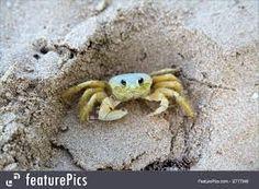 Bilderesultat for sand crab