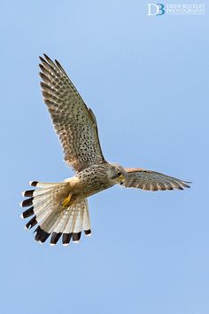 Kestrel - Awesome Shot !