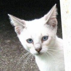 Heidi is an adoptable Domestic Short Hair-White Cat in Rutherfordton, NC. Heidi is a female white kitten with blue eyes born on April 1, 2012. The adoption fee is $60. This covers the cost of spay/neu...