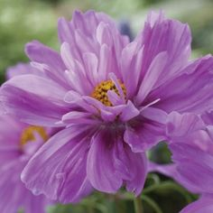 Cosmos Fizzy Fizzy Pink