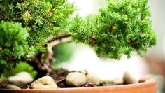 Learn the ins and outs of choosing, watering, fertilizing and repotting a bonsai tree.