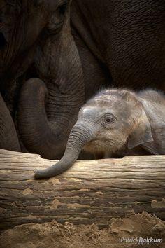 Exploring by Patrick Bakkum Baby elephant Elephants Never Forget, Save The Elephants, Baby Elephants, Elephants Photos, Asian Elephant, Elephant Love, Happy Elephant, Elephant Parade, Cute Baby Animals