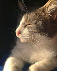 My Beautiful Lazy Cat Zazzles. Cute Cats And Kittens, Cool Cats, Kittens Cutest, Animals And Pets, Baby Animals, Cute Animals, Pretty Cats, Beautiful Cats, Cat Aesthetic