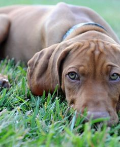 Kingston the Vizsla | Puppies | Daily Puppy