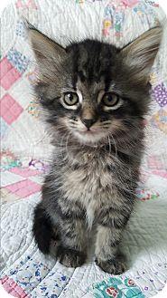 """Highland, IN - Maine Coon. Meet """"Raspberry"""" Beret, a kitten for adoption. http://www.adoptapet.com/pet/15507437-highland-indiana-kitten"""