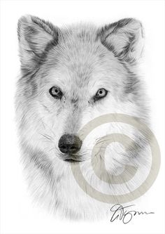Hey, I found this really awesome Etsy listing at https://www.etsy.com/listing/218320001/arctic-wolf-pencil-drawing-print-a4-size