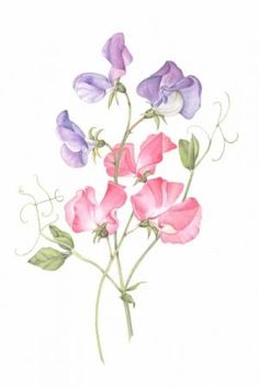 sweet pea flower drawing and sweet pea botanical illustration - sweet pea flower drawing Watercolor Design, Watercolor Flowers, Watercolor Tattoo, Watercolor Paintings, Drawing Flowers, Watercolour, Plant Drawing, Sweet Pea Tattoo, Illustration Blume