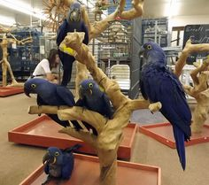 Hyacinth Macaw Babies $11,900. We have (5) Hyacinth babies in the store now. (2) females are still available for sale. Call or email us at 302-684-4101 or info@mdbirdfarm.com