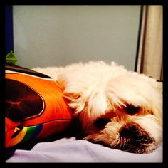 Boris :) dog #dogs #cão #cachorro