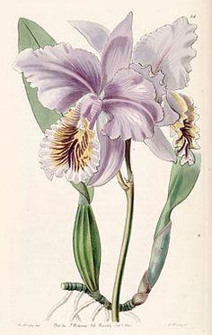 Cattleya mossiae - Wikipedia, la enciclopedia libre