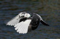 Stunning pigeon in flight...