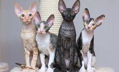 14 Most Amazingly Beautiful Cat Breeds in the World schöne Katzenrassen: Cornish Rex Cornish Rex Kitten, Cornish Rex Cat, Beautiful Cat Breeds, Beautiful Cats, Selkirk Rex, Cat Names, T Rex, Crazy Cats, Cat Lady