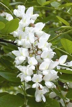 Black locust blooms (www.farmcarolina.com)