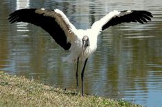 Bird Species: Wood Storks  North America's only native stork is also one of its largest breeding bird species. Learn where to see Wood Storks in the U.S. birdsandblooms.com