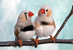 Chestnut Flanked White (CFW) Zebra Finch CFW males - Continental variety (left) and Regular variety (right)