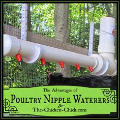 """As a vet, I recommend that everyone raising hens change from open water sources to nipple drinkers....the hens get plenty of water, and the..."