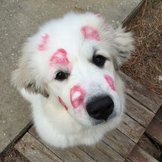Great Pyrenees are really adorable!