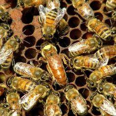 L'ape - le api