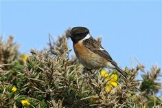 South Stack Cliffs Slideshow - South Stack Cliffs - South Stack Cliffs - The RSPB Community -  Stonechat