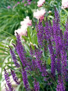 May Night' Salvia with dark purple spikes that contrast nicely against light-colored flowers or white-variegated foliage. Award-winner. Holds up against heat, drought, deer, and rabbits.