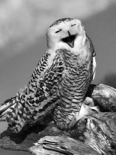 """I was just remembering that time that you laughed so hard you snorted mouse guts out your nose...."" snowy owl laughing"