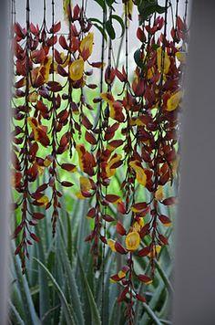 O sapatinho-de-judia é uma trepadeira indicada para pergolados altos porque suas delicadas flores, amarelas e exóticas, pendem em cachos de até 1 m. Fica florida na primavera e no verão.