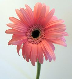A pink gerber daisy with an off-white background