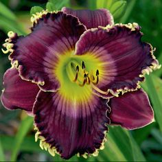 Photo of Daylily (Hemerocallis 'All of My Love to You') uploaded by Calif_Sue