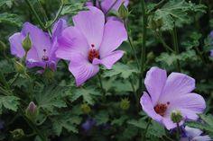 Alyogyne Karana --- For more Australian native plants visit austraflora.com