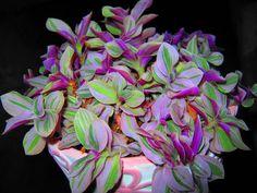 http://static.swiatkwiatow.pl/user_galeria/201011/duze/trzykrotka-trzykrotka-_6931289927085.jpg