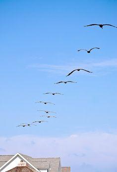 Pelicans in South Carolina.