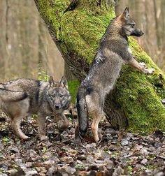 Wolfs by MasterBunia