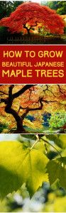 How+to+Grow+Japanese+Maples
