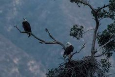 The male and female bald eagle pair, their nest in the foreground, on a tree in the Angeles National Forest/San Gabriel Mountains National Monument on Dec. 14, 2016. The first pair of nesting bald eagles ever in the Angeles were first seen earlier this year.